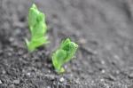 pea_seedling