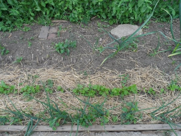Onions, Parsnips, garlic, Peas and weeds....Tons of weeds.