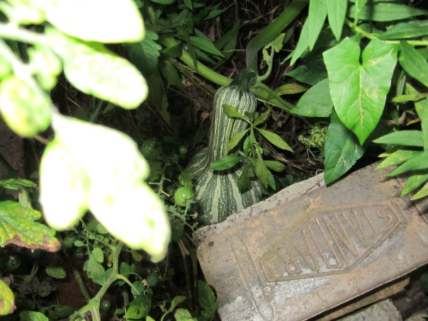 Winter squash growing in the weeds behind bricks used to hide it from the local groundhog.